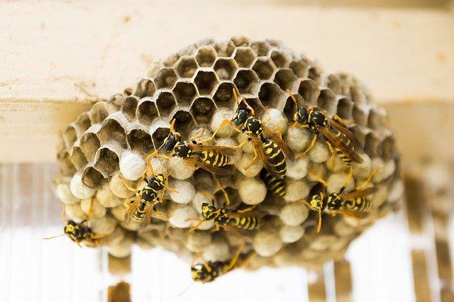 hnízdo vos